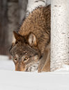 Grey wolf canis lupus sniffs in snow captive animal Stock Images