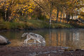 Grey Wolf Canis lupus Splashes in Water