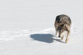 Grey wolf canis lupus stalks looking left captive animal Stock Image