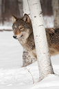 Grey wolf canis lupus stands behind birch tree captive animal Stock Photography