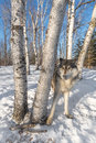 Grey Wolf Canis lupus Stands Behind Trees Ears Back