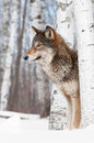 Grey wolf canis lupus stands between birch trees captive animal Stock Images