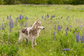 Grey Wolf Canis lupus Stands in Field Paw Up