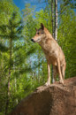 Grey Wolf Canis lupus Stands Looking Left Atop Rock