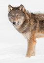 Grey wolf canis lupus stands snow captive animal Royalty Free Stock Images