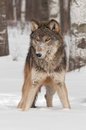 Grey wolf canis lupus stands in the snow captive animal Royalty Free Stock Image