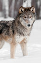 Grey wolf canis lupus stands snow looking viewer captive animal Royalty Free Stock Photos