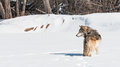 Grey wolf canis lupus stands snowing looking left tail to viewer captive animal Stock Photography