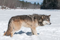 Grey wolf canis lupus stands snowy riverbed captive animal Royalty Free Stock Photos