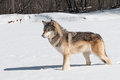 Grey wolf canis lupus stands in snowy riverbed captive animal Stock Photo