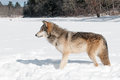 Grey wolf canis lupus stands in snowy riverbed looking left captive animal Stock Image