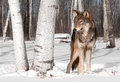 Grey wolf canis lupus stands in treeline with birch tree captive animal Royalty Free Stock Photo