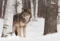 Grey wolf canis lupus stands in treeline captive animal Stock Image