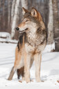 Grey wolf canis lupus stands in treeline looking left captive animal Royalty Free Stock Image