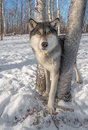 Grey Wolf Canis lupus Stands Between Trees Ears Forward