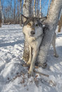 Grey Wolf Canis lupus Stands Between Trees Ears to Sides