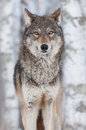 Grey wolf canis lupus straight on captive animal Royalty Free Stock Photo