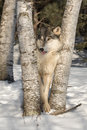 Grey Wolf Canis lupus Tongue Out Between Trees