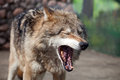 Grey Wolf (Canis lupus) yawns Royalty Free Stock Photo