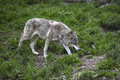 Grey wolf in a deer park Royalty Free Stock Photography