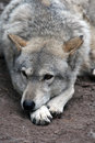 Grey wolf getting rest in south african wolves sanctuary Stock Images