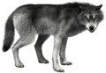 Grey Wolf Illustration Isolated, Wildlife Royalty Free Stock Photo