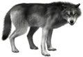 Grey Wolf Illustration Isolated, Wildlife