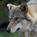 Grey wolf latin name canis lupus Stock Photography