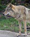 Grey wolf latin name canis lupus Royalty Free Stock Photography