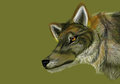 Grey Wolf on Neutral Green Background Stock Image