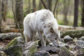 Grey wolf picking up the scent sniffing ground to pick of prey Stock Photos
