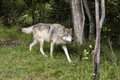 Grey Wolf on the Prowl Royalty Free Stock Image