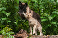 Grey Wolf Pup (Canis lupus) Sniffs at Black Wolf Royalty Free Stock Photo