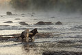 Grey Wolves Canis lupus Look and Move Right in River