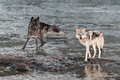 Grey wolves canis lupus look up from river captive animals Royalty Free Stock Photo