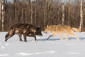 Grey Wolves Canis lupus Pass Each Other