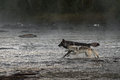 Grey wolves canis lupus run in river captive animals Royalty Free Stock Photo