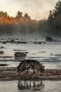 Grey Wolves Canis lupus Walk Left Across River Rocks