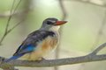 Greyheaded kingfisher halcyon leucocephala in kruger national park south africa Royalty Free Stock Image