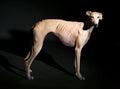 Greyhound dog portrait Royalty Free Stock Photo