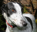 Greyhound dog profile of a black and white rescue Stock Images
