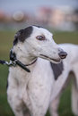 Greyhound on grass Royalty Free Stock Photo