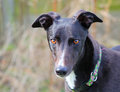 A greyhound head portrait. Royalty Free Stock Photo