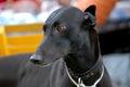 Black Greyhound portrait Royalty Free Stock Photo