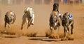 Greyhound race Royalty Free Stock Photo