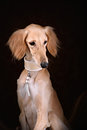 Greyhound saluki dog portrait Royalty Free Stock Photo