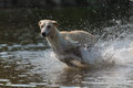Greyhound spanish runs through water Royalty Free Stock Photography