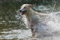 Greyhound spanish runs through water Royalty Free Stock Images