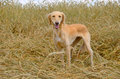 Greyhound tazi kazakh standing on a wheat field Royalty Free Stock Image