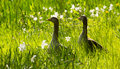 Greylag geese anser anser and daffodils two wild standing in tall grass with in springtime Royalty Free Stock Photography